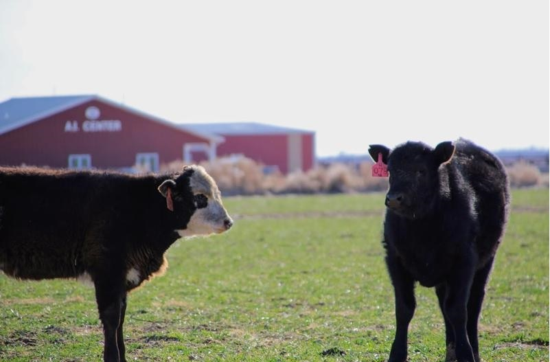 Calves at Gardiner Angus Ranch in Ashland, Kansas. (Photo by Corinne Boyer, Kansas News Service)