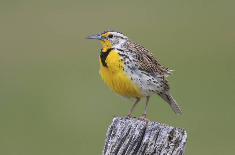 A Western Meadowlark in the Pawnee National Grassland in Colorado. (Image from Bob Gress, Birds In Focus)