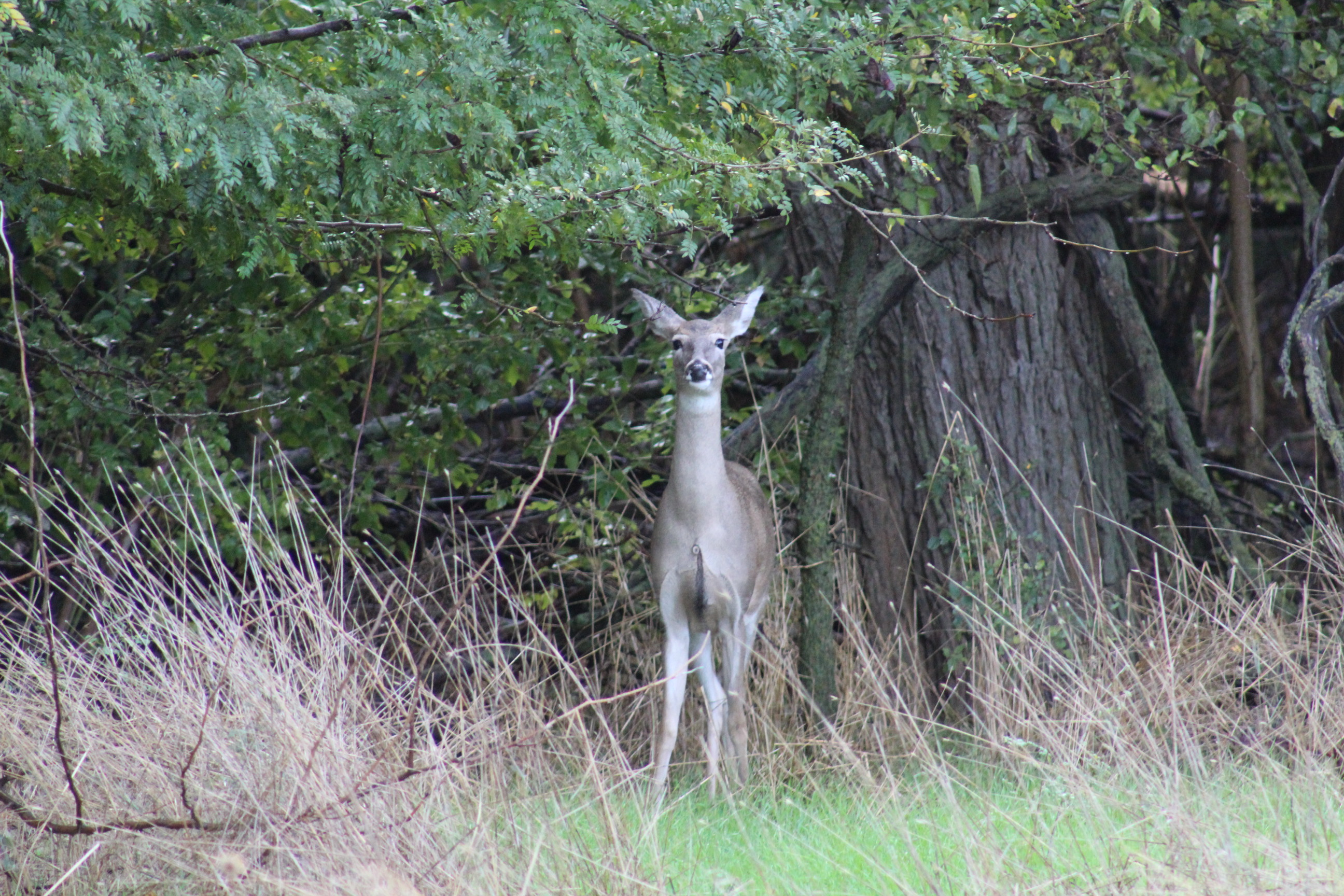 Deer at Quivira National Wildlife Refuge (Photo by J. Schafer)