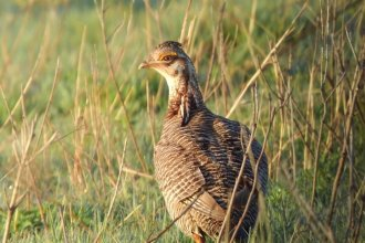 The lesser prairie chicken is native to the Southern Great Plains, but it has lost 85% of its natural habitat due to changes in agriculture and invasive trees. (Photo submitted by Ed Koger)