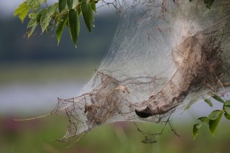 Webworms cling to a tree. (Photo by Seabamirum on Flickr: https://www.flickr.com/photos/seabamirum/2803646394)