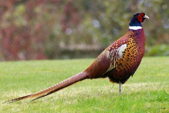 The new state bird for West Kansas was to be the pheasant. (Flickr Photo by gary noon)